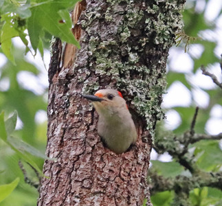 Red-bellied woodpecker 918
