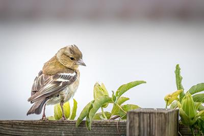 Oiseaux du jardin (Garden birds)