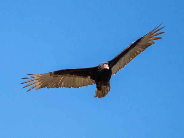 2019-03-17  Turkey Vulture