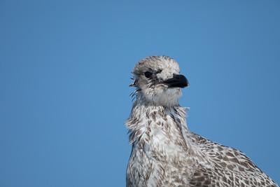 "Goéland argenté ""très"" juvénile (""Very"" Juvenile Herring Gull)"