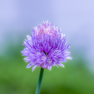 Fleur de ciboulette du jardin (Chive flower from the garden)