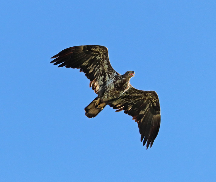 Juvenile bald eagle 853