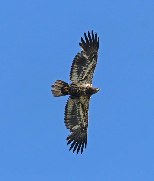 Juvenile bald eagle 741