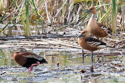 2017-04-14  Fulvous Whistling Ducks