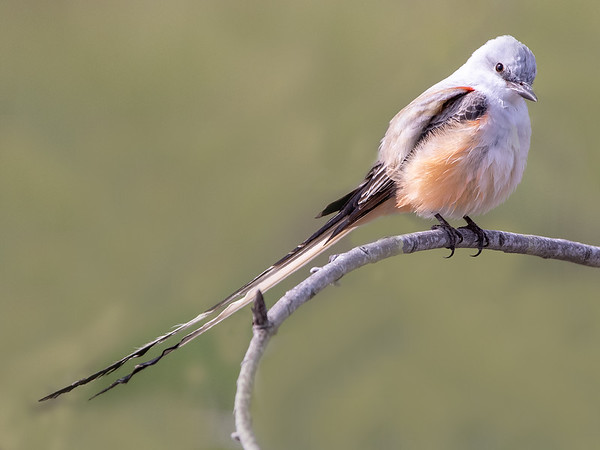 2019-04-11  Scissor-tailed Flycatcher