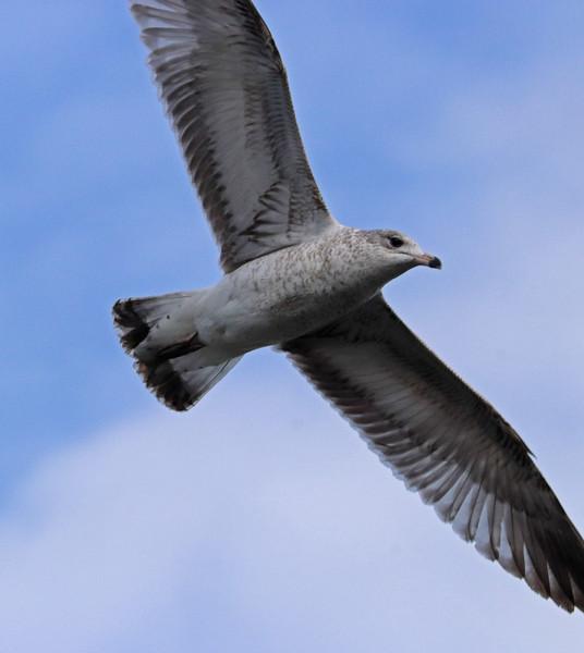 Ring-billed gull 2