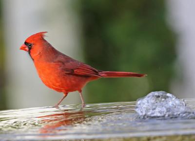 Cardinal 574
