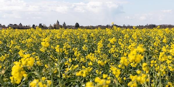 Le printemps c'est aussi les champs de Colza en fleurs