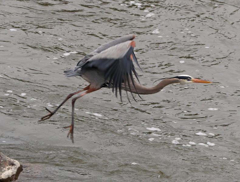 Great blue heron 982