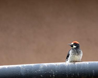 2021-08-15  Acorn Woodpecker