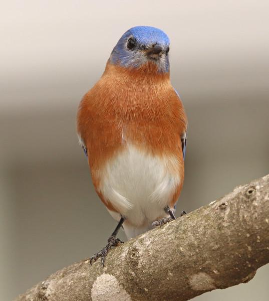 Bluebird 20