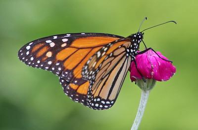 Monarch 223
