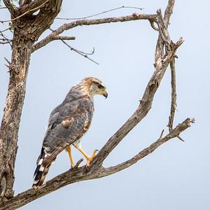2021-08-15  Gray Hawk