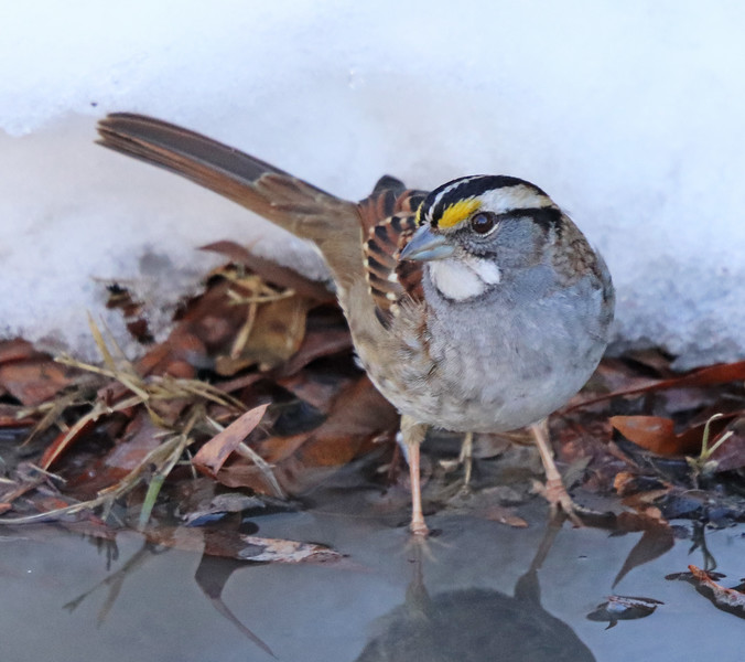 White-throated sparrow 4