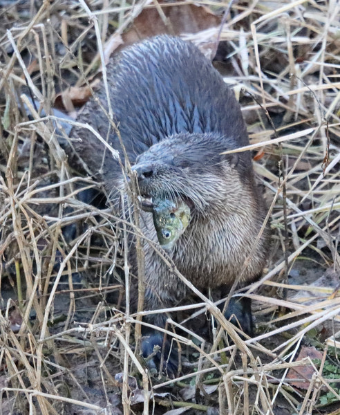 Otter with fish 2