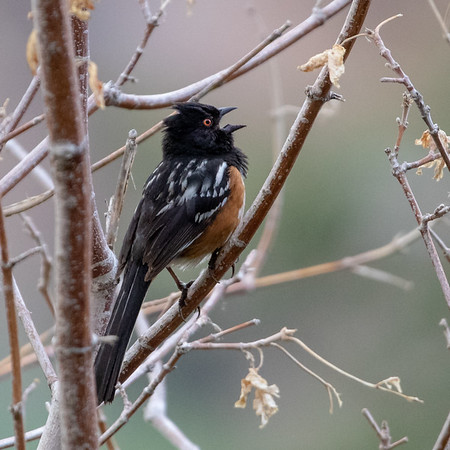 2021-07-18  Spotted Towhee