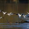 Avocet Formation Flying