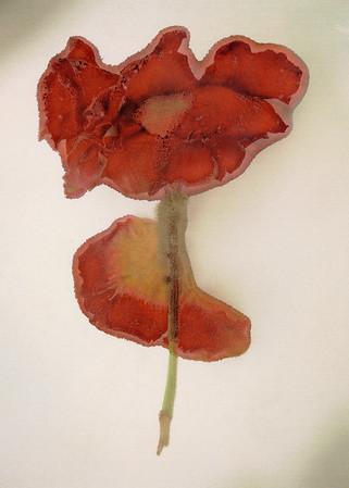 Rose Petal 2