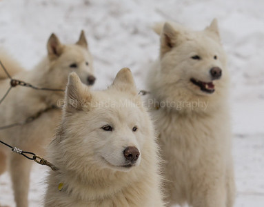 Sled Dog, Apostle Island Sled Dog Races, Bayfield County, Wisconsin