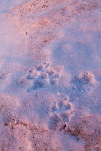 Wolf Tracks in Snow and Ice, Lake Superior, Wisconsin