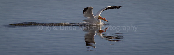 White Pelican, Mississippi River Flyway, Wisconsin, Minnesota