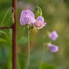 Lathyrus odoratus 'Perfume Delight'