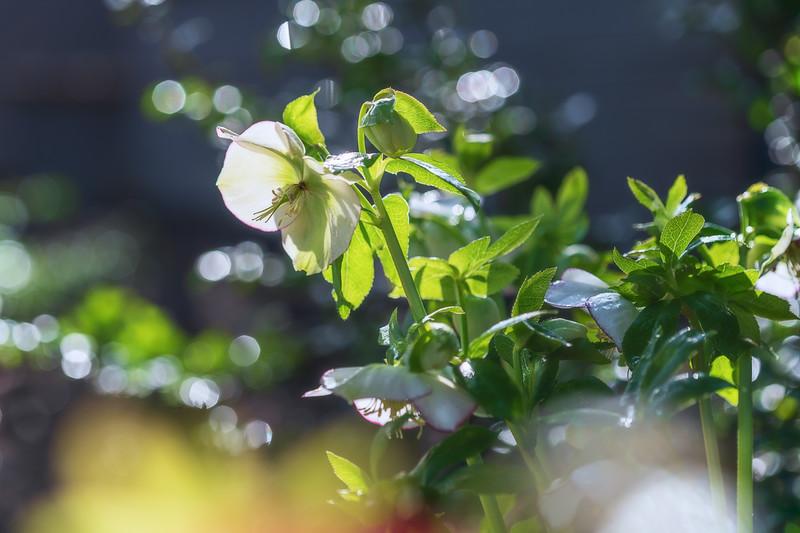 Helleborus x hybridus 'Picotee Pearl'