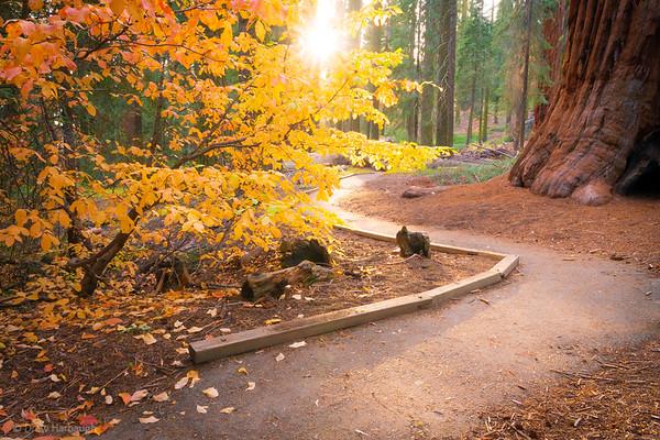 The Autumnal Path Through The Sequoias