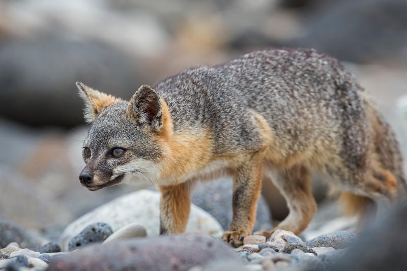 An intense look by an Island fox