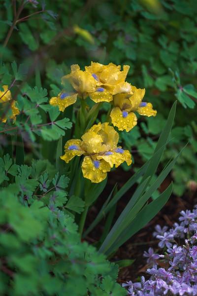 Iris 'Prank'