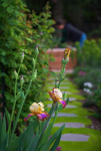 Iris 'Trumped'