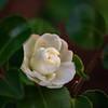 Camellia sasanqua 'White Doves' ('Mine-No-Yuki')