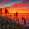 Scripps Red Aloe