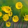 Narcissus bulbocodium 'Oxford Gold'