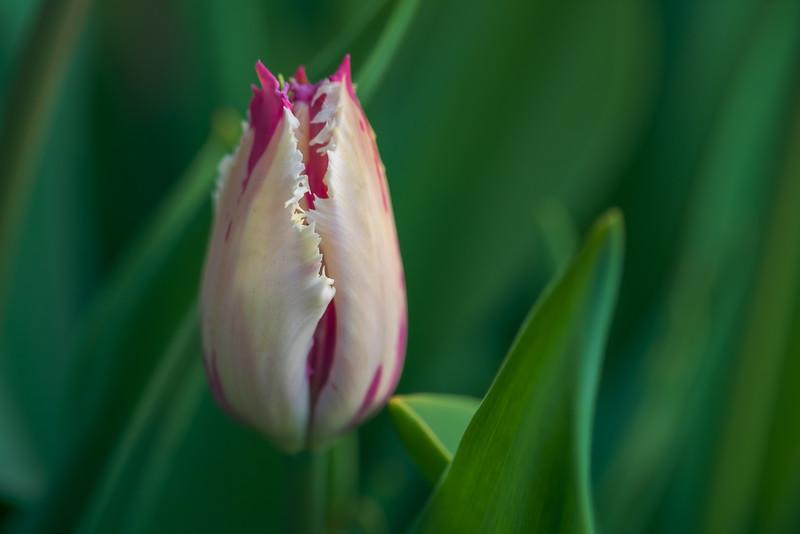 Tulipa 'Eyelash'