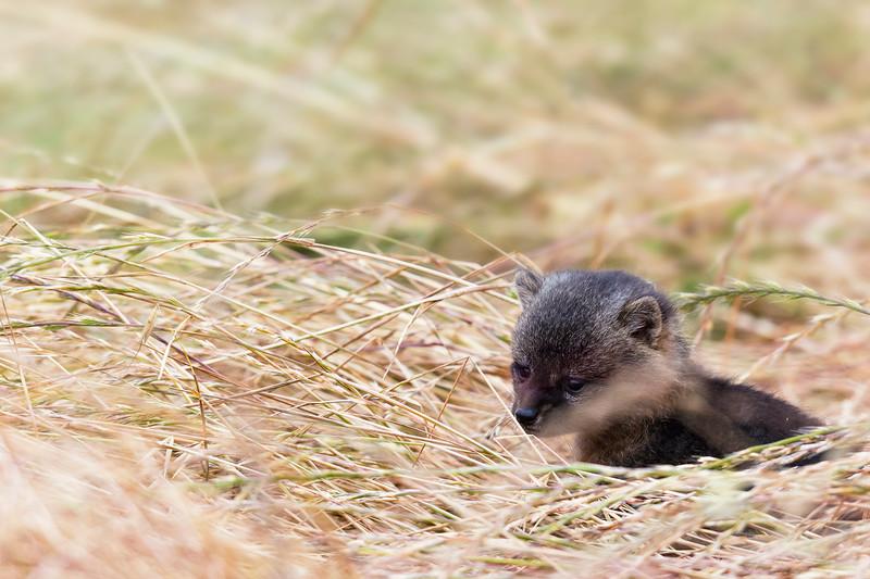 Baby Island fox