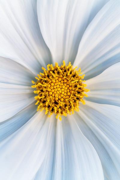 Cosmos bipinnatus 'Sonata White'