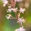 Tiarella x 'Sugar and Spice'
