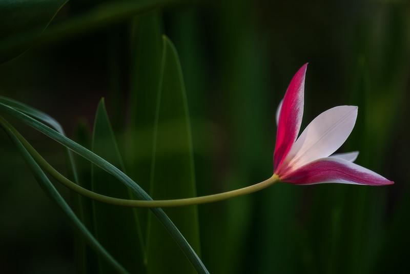 Tulipa clusiana 'Lady Jane'