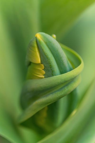 Tulipa 'Avignon Parrot'