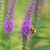Bombus flavifrons and Veronica spicata 'Lavender Lightsaber'