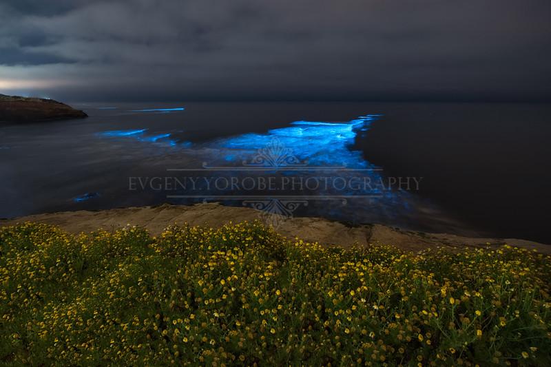 BIoluminescence & Wildflowers at Sunset Cliffs