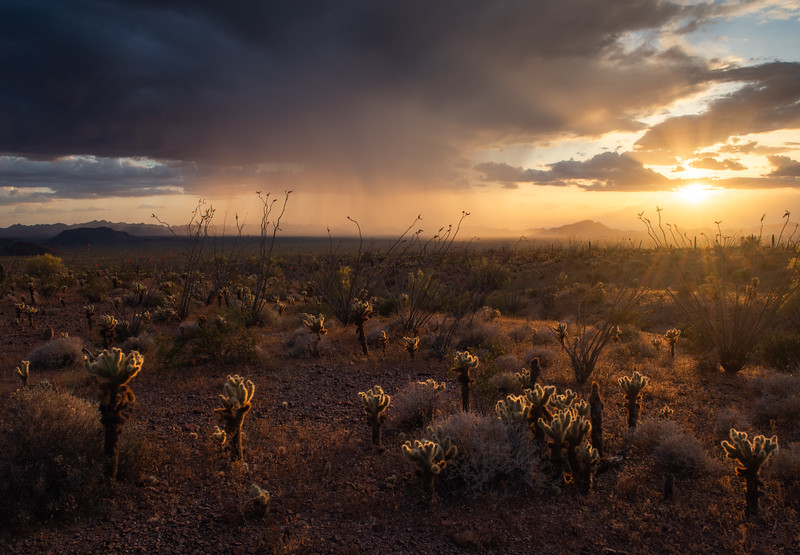 A rainstorm looms in the distance as the evening sun lights up the teddy bear cholla and ocotillo cacti in the Sonoran desert region of Arizona.