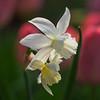 Narcissus 'Thalia' with Tulipa 'Mystic Van Eijk'