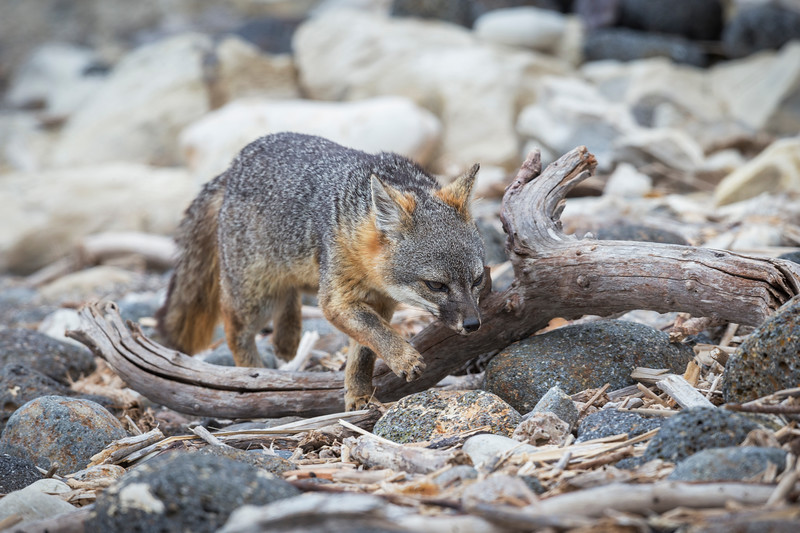 Island fox hunting for bugs on the beach