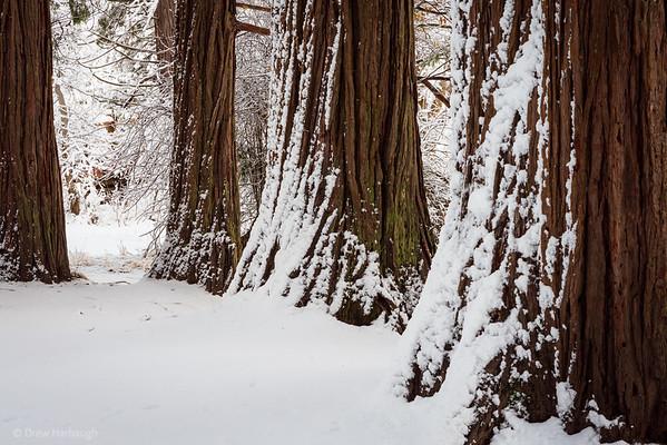 Redwoods in the Winter