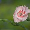 Dianthus 'American Pie Georgia Peach Pie'