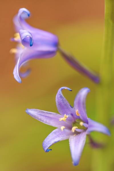 Hyacinthoides hispanica