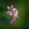 Gaura lindheimeri 'Pink Lady'