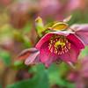 Helleborus x glandorfensis 'HGC Ice N' Roses Red'